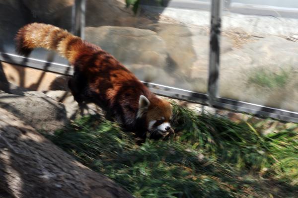 高速レッサーパンダ