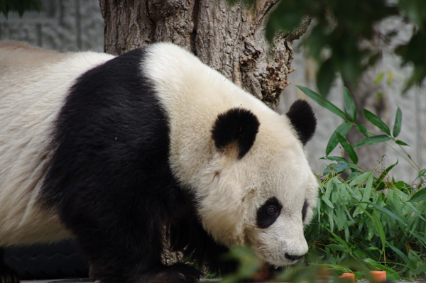 パンダ人気にあやかれ
