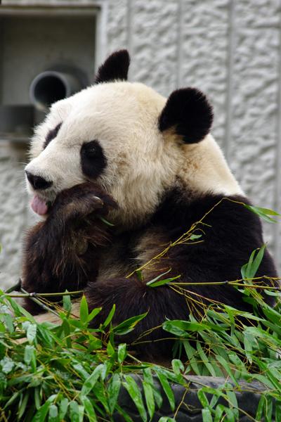 パンダのぺろり