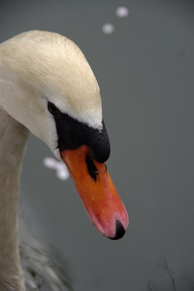 白鳥のお堀