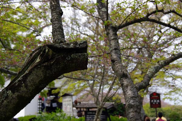 桜の木を折ってみた